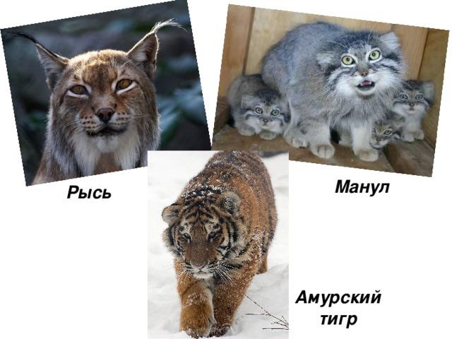 Манул Рысь Амурский тигр