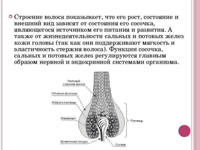 Строение волоса показывает, что его рост, состояние и внешний вид зависят от состояния его сосочка, являющегося источником его питания и развития. А также от жизнедеятельности сальных и потовых желез кожи головы (так как они поддерживают мягкость и эластичность стержня волоса). Функции сосочка, сальных и потовых желез регулируются главным образом нервной и эндокринной системами организма.
