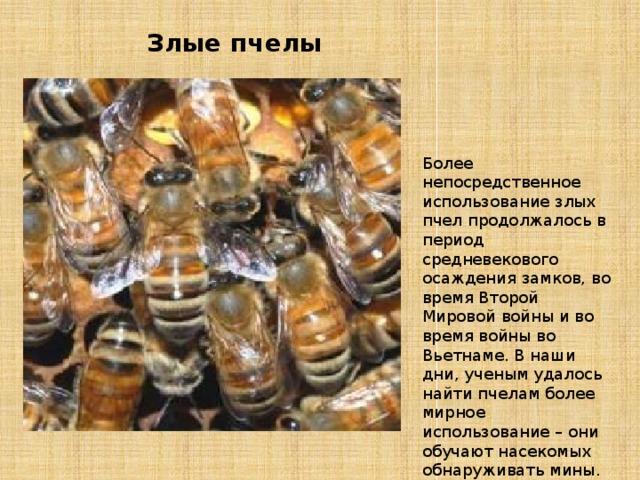Злые пчелы Более непосредственное использование злых пчел продолжалось в период средневекового осаждения замков, во время Второй Мировой войны и во время войны во Вьетнаме. В наши дни, ученым удалось найти пчелам более мирное использование – они обучают насекомых обнаруживать мины.