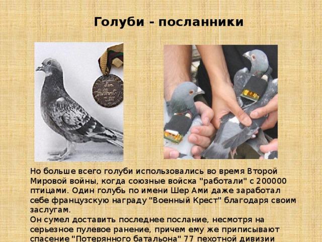 Голуби - посланники Но больше всего голуби использовались во время Второй Мировой войны, когда союзные войска