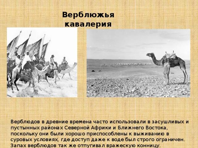 Верблюжья кавалерия Верблюдов в древние времена часто использовали в засушливых и пустынных районах Северной Африки и Ближнего Востока, поскольку они были хорошо приспособлены к выживанию в суровых условиях, где доступ даже к воде был строго ограничен. Запах верблюдов так же отпугивал вражескую конницу.