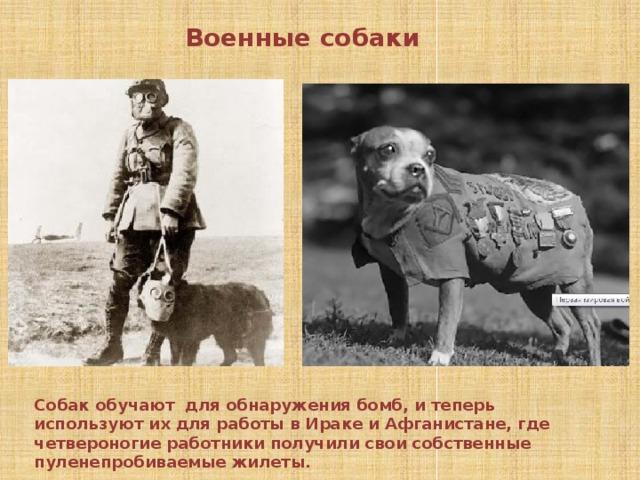 Военные собаки Собак обучают для обнаружения бомб, и теперь используют их для работы в Ираке и Афганистане, где четвероногие работники получили свои собственные пуленепробиваемые жилеты.