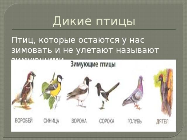 Дикие птицы Птиц, которые остаются у нас зимовать и не улетают называют зимующими