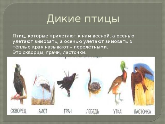 Дикие птицы Птиц, которые прилетают к нам весной, а осенью улетают зимовать, а осенью улетают зимовать в тёплые края называют – перелётными. Это скворцы, грачи, ласточки.