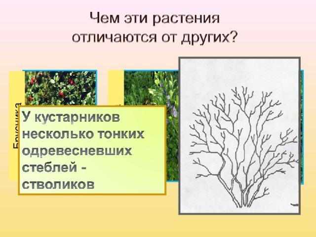 Брусника Черника Орешник