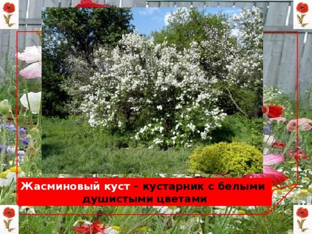 Жасминовый куст – кустарник с белыми душистыми цветами Мизёва Алевтина Власовна