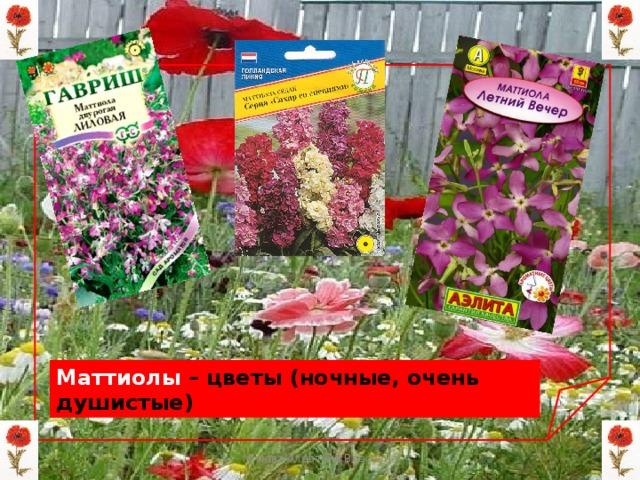 Маттиолы – цветы (ночные, очень душистые) Мизёва Алевтина Власовна