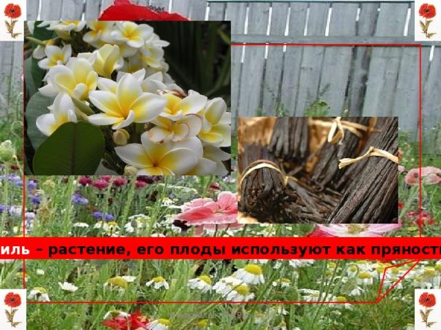 Ваниль – растение, его плоды используют как пряность Мизёва Алевтина Власовна