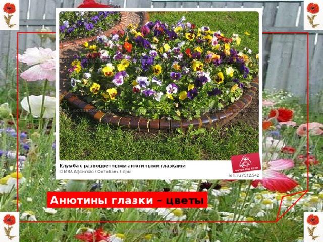 Анютины глазки – цветы Мизёва Алевтина Власовна