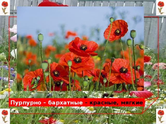 Пурпурно – бархатные – красные, мягкие Мизёва Алевтина Власовна
