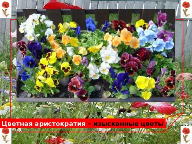 Цветная аристократия – изысканные цветы Мизёва Алевтина Власовна