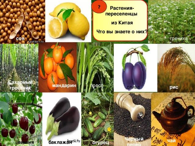 ? Растения- переселенцы из Китая Что вы знаете о них? соя гречиха Сахарный тростник просо мандарин слива рис Черный перец чай вишня баклажан огурец