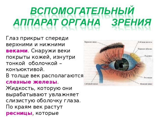 Глаз прикрыт спереди верхними и нижними веками . Снаружи веки покрыты кожей, изнутри тонкой оболочкой – конъюктивой. В толще век располагаются слезные железы . Жидкость, которую они вырабатывают увлажняет слизистую оболочку глаза. По краям век растут ресницы , которые выполняют защитную функцию