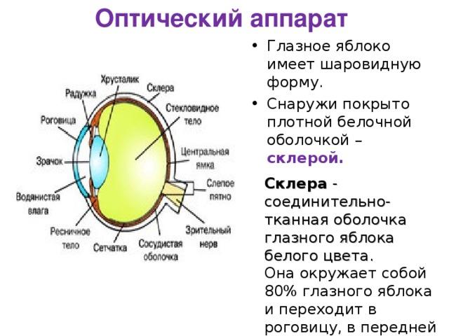 Оптический аппарат Глазное яблоко имеет шаровидную форму. Снаружи покрыто плотной белочной оболочкой – склерой. Склера - соединительно-тканная оболочка глазного яблока белого цвета.  Она окружает собой 80% глазного яблока и переходит в роговицу, в передней части.