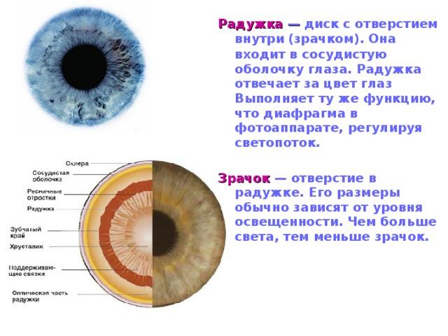 Радужка — диск с отверстием внутри  (зрачком). Она входит в сосудистую оболочку глаза. Радужка отвечает за цвет глаз Выполняет ту же функцию, что диафрагма в фотоаппарате, регулируя светопоток.  Зрачок  — отверстие в радужке. Его размеры обычно зависят от уровня освещенности. Чем больше света, тем меньше зрачок.