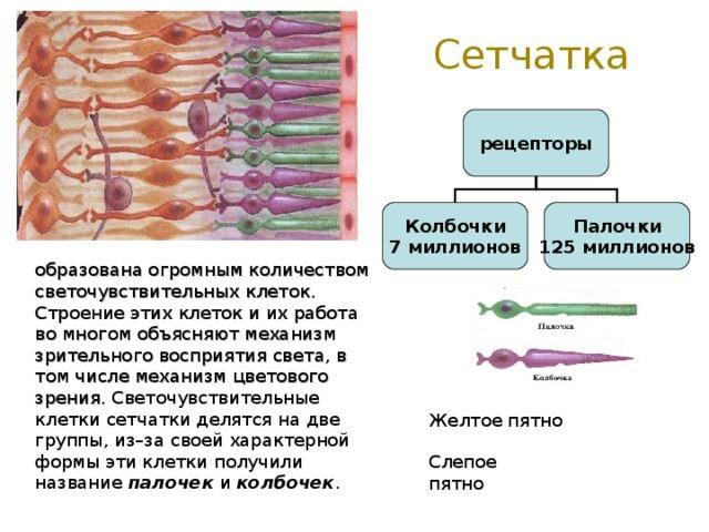 Сетчатка рецепторы Колбочки 7 миллионов Палочки 125 миллионов образована огромным количеством светочувствительных клеток. Строение этих клеток и их работа во многом объясняют механизм зрительного восприятия света, в том числе механизм цветового зрения. Светочувствительные клетки сетчатки делятся на две группы, из–за своей характерной формы эти клетки получили название палочек и колбочек . Желтое пятно Слепое пятно