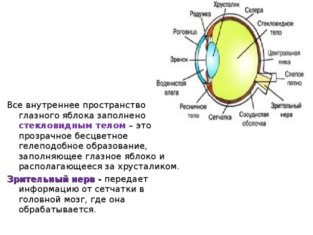 Все внутреннее пространство глазного яблока заполнено стекловидным телом – это прозрачное бесцветное гелеподобное образование, заполняющее глазное яблоко и располагающееся за хрусталиком. Зрительный нерв -  передает информацию от сетчатки в головной мозг, где она обрабатывается.
