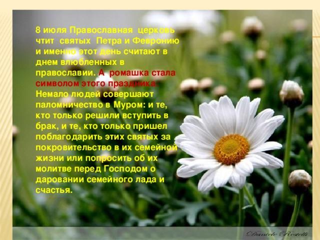 8 июля Православная церковь чтит святых Петра и Февронию и именно этот день считают в днем влюбленных в православии. А ромашка стала символом этого праздника. Немало людей совершают паломничество в Муром: и те, кто только решили вступить в брак, и те, кто только пришел поблагодарить этих святых за покровительство в их семейной жизни или попросить об их молитве перед Господом о даровании семейного лада и счастья.