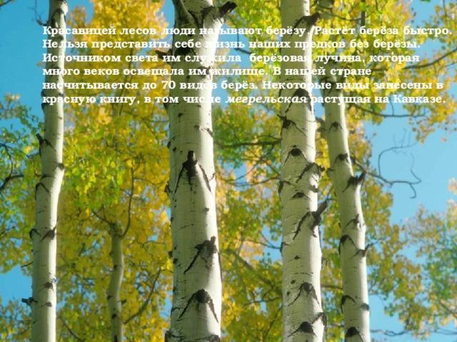 Красавицей лесов люди называют берёзу. Растёт берёза быстро. Нельзя представить себе жизнь наших предков без берёзы. Источником света им служила берёзовая лучина, которая много веков освещала им жилище. В нашей стране насчитывается до 70 видов берёз. Некоторые виды занесены в красную книгу, в том числе мегрельская растущая на Кавказе.
