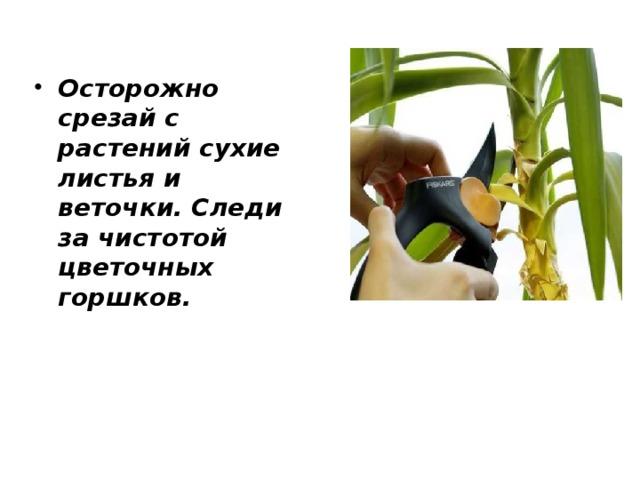 Осторожно срезай с растений сухие листья и веточки. Следи за чистотой цветочных горшков.