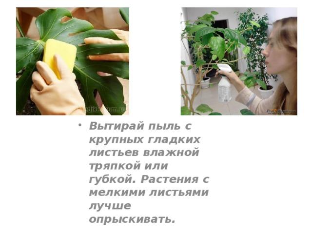 Вытирай пыль с крупных гладких листьев влажной тряпкой или губкой. Растения с мелкими листьями лучше опрыскивать.