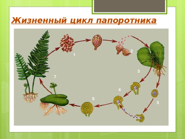 Жизненный цикл папоротника 2 1 3 7 4 6 5