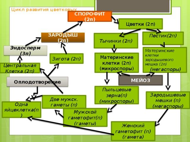 Цикл развития цветковых СПОРОФИТ (2п) Цветки (2п) Пестик(2п) ЗАРОДЫШ (2п) Тычинки (2п) Эндосперм (3п) Материнские клетки зародышевого мешка (2п)  (мегаспоры) Материнские клетки (2п) (микроспоры) Зигота (2п) Центральная Клетка (2п) МЕЙОЗ Оплодотворение Пыльцевые зерна(п) (микроспоры ) Зародышевые мешки (п) (мегаспоры) Две мужск. гаметы (п) Одна яйцеклетка(п) Мужской гаметофит(п) (гаметы ) Женский гаметофит (п) (гамета)