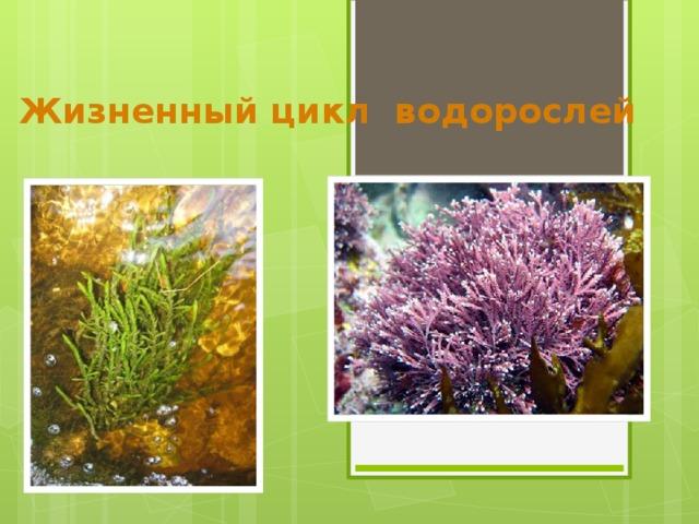 Жизненный цикл водорослей