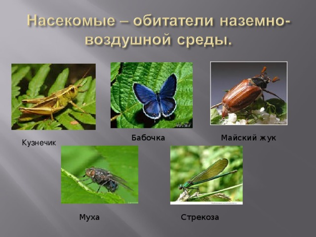 Майский жук Бабочка Кузнечик Стрекоза Муха