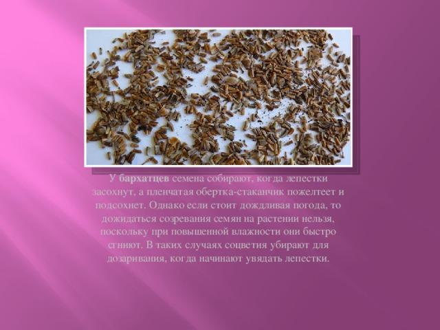 У бархатцев семена собирают, когда лепестки засохнут, а пленчатая обертка-стаканчик пожелтеет и подсохнет. Однако если стоит дождливая погода, то дожидаться созревания семян на растении нельзя, поскольку при повышенной влажности они быстро сгниют. В таких случаях соцветия убирают для дозаривания, когда начинают увядать лепестки.