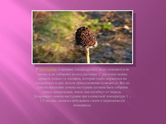 У настурции  созревшие плоды-орешки легко осыпаются на землю, и их собирают из-под растения. С растения можно срывать только те плодики, которые слабо держаться на плодоножке и при легком прикосновении осыпаются. Все не совсем высохшие семена настурции должны быть собраны перед заморозками, иначе они погибнут от мороза. Дозаривают семена настурции при комнатной температуре 1 – 1,5 месяца, насыпая небольшим слоем и периодически помешивая.