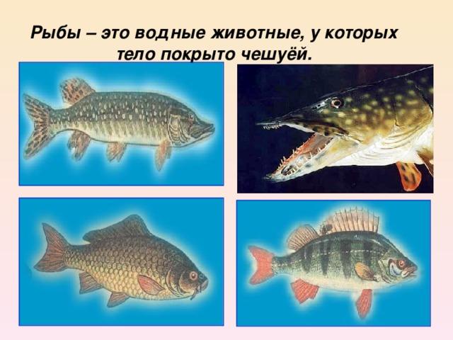 Рыбы – это водные животные, у которых тело покрыто чешуёй.