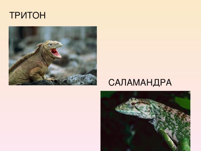 ТРИТОН  САЛАМАНДРА
