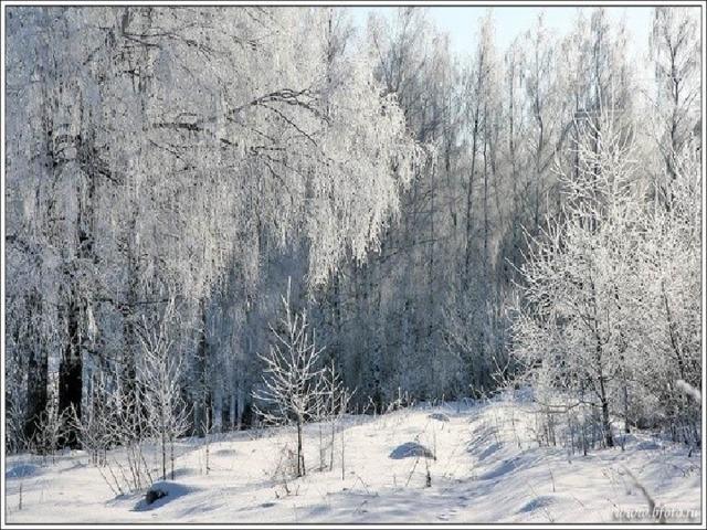 М.Пришвин «Деревья в лесу»