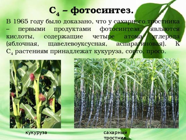 С 4 – фотосинтез. В 1965 году было доказано, что у сахарного тростника – первыми продуктами фотосинтеза, являются кислоты, содержащие четыре атома углерода (яблочная, щавелевоуксусная, аспарагиновая). К С 4 растениям принадлежат кукуруза, сорго, просо. кукуруза сахарный тростник