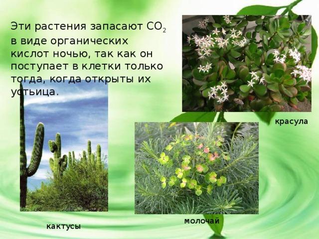 Эти растения запасают СО 2 в виде органических кислот ночью, так как он поступает в клетки только тогда, когда открыты их устьица. красула молочай кактусы