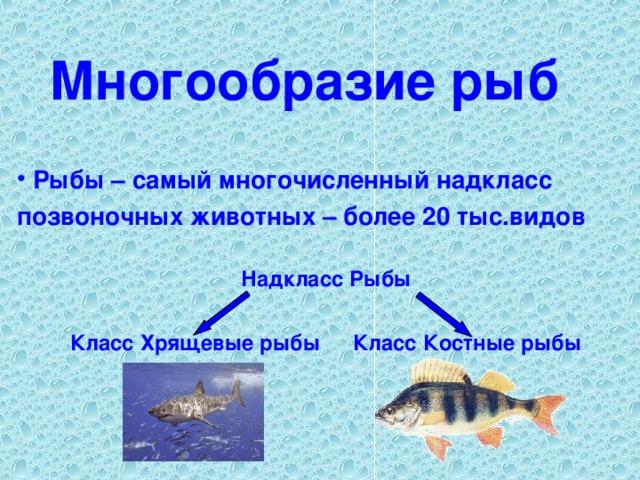 Многообразие рыб  Рыбы – самый многочисленный надкласс позвоночных животных – более 20 тыс.видов   Надкласс Рыбы Класс Костные рыбы Класс Хрящевые рыбы