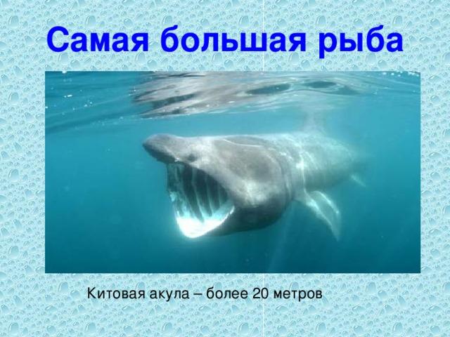 Самая большая рыба Китовая акула – более 20 метров