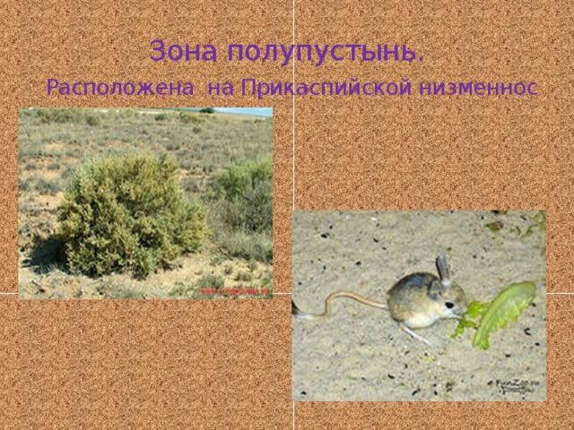Зона полупустынь.   Расположена на Прикаспийской низменнос