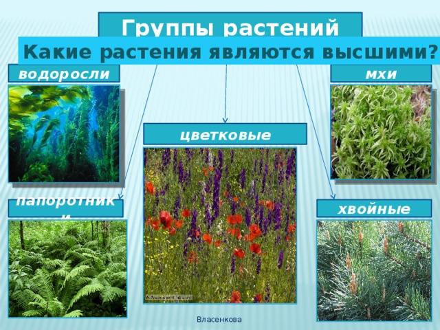 Группы растений Какие растения являются высшими? мхи водоросли цветковые папоротники хвойные Власенкова