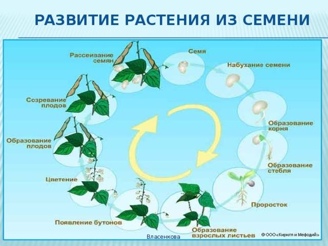 Развитие растения из семени Власенкова