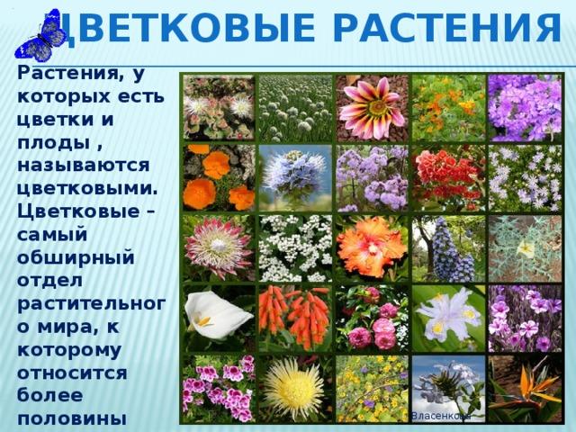 Цветковые растения Растения, у которых есть цветки и плоды , называются цветковыми. Цветковые – самый обширный отдел растительного мира, к которому относится более половины известных видов растений. Их около 250 000 видов.  Власенкова
