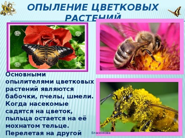 Опыление цветковых растений Основными опылителями цветковых растений являются бабочки, пчелы, шмели. Когда насекомые садятся на цветок, пыльца остается на её мохнатом тельце. Перелетая на другой цветок, они невольно переносят на него пыльцу – опыляют этот цветок. Власенкова