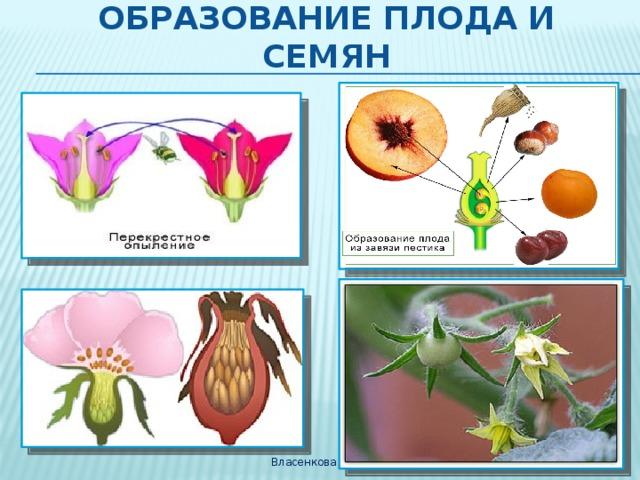 Образование плода и семян Власенкова