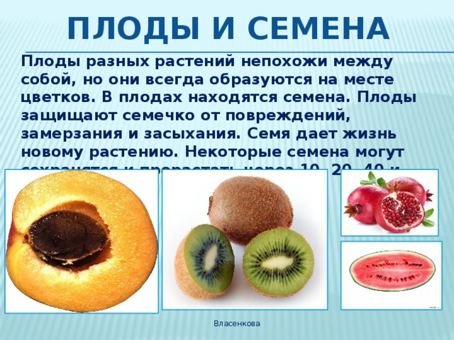 Плоды и семена Плоды разных растений непохожи между собой, но они всегда образуются на месте цветков. В плодах находятся семена. Плоды защищают семечко от повреждений, замерзания и засыхания. Семя дает жизнь новому растению. Некоторые семена могут сохранятся и прорастать через 10, 20, 40 и даже 100 лет. Власенкова