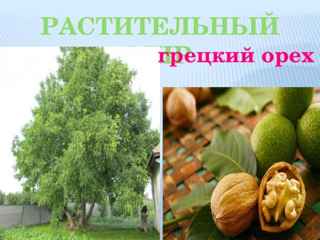 Растительный мир грецкий орех