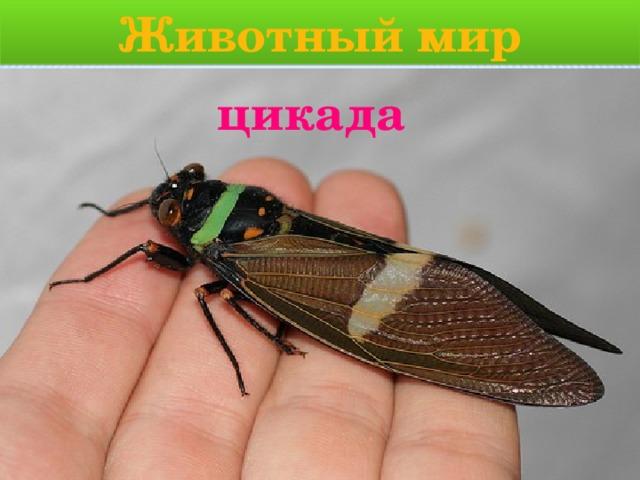 Животный мир цикада