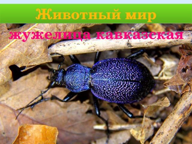 Животный мир жужелица кавказская