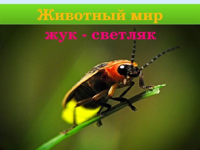 Животный мир жук - светляк