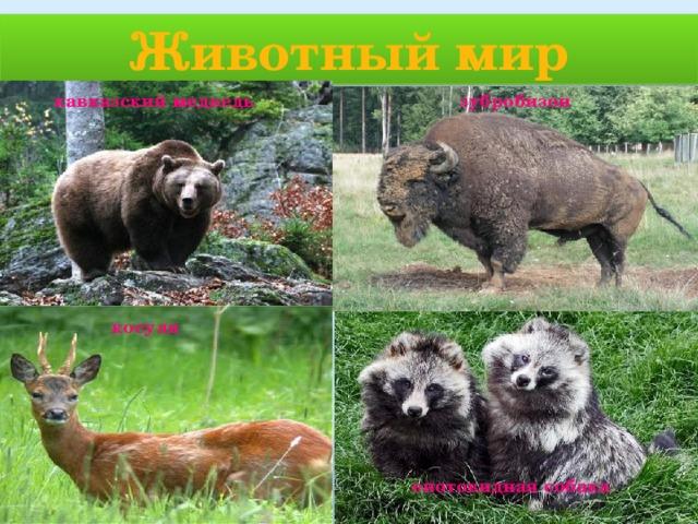 Животный мир кавказский медведь зубробизон косуля енотовидная собака
